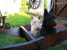 Foto 2 Schottischer Terrier Welpen