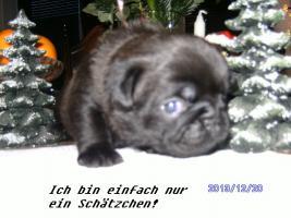 Foto 3 Schw.Mops-Welpen
