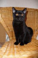 Schwarze BKH Katze
