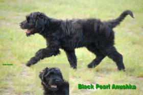 Foto 2 Schwarze Terrier