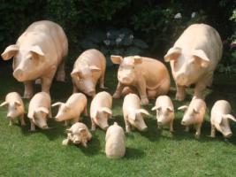 Schweine von klein bis riesengross
