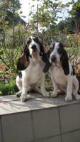 Schweizer Laufhund – Berner und Schwyzer