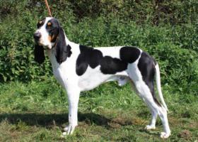 Foto 4 Schweizer Laufhund – Berner und Schwyzer