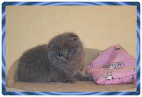 Foto 2 Scottich Fold Babys in blue