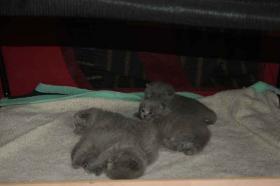 Foto 3 Scottich Fold Babys in blue
