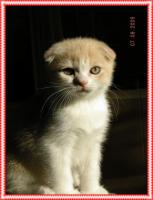 Foto 2 Scottish Fold