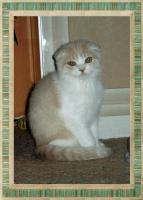 Foto 3 Scottish Fold