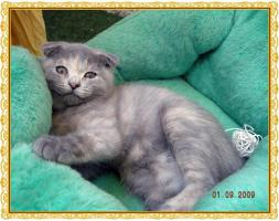 Foto 5 Scottish Fold
