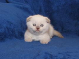 Scottish Fold Babys in point !