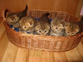 Foto 6 Scottish-Fold-Babys, Schoko gestromt, 14 Wo., mit STB