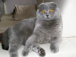 Scottish Fold Blue Deckkater