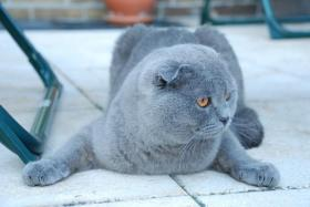 Foto 2 Scottish Fold Blue Deckkater