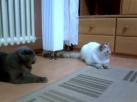 Foto 4 Scottish Fold Deckkater