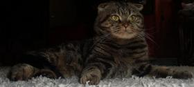 Foto 2 Scottish Fold Deckkater in Classic Tabby
