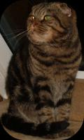 Foto 4 Scottish Fold Deckkater in Classic Tabby