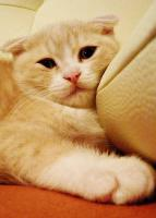 Scottish Fold Katerchen 13 Wochen