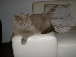 Scottish Fold Lilac Deckkater