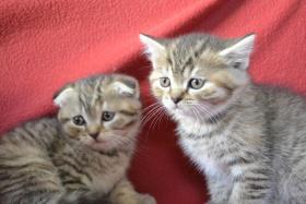 Scottish Fold/Straight Kitten mit Stammbaum