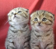 Foto 2 Scottish Fold/Straight Kitten mit Stammbaum