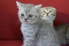 Foto 3 Scottish Fold/Straight Kitten mit Stammbaum