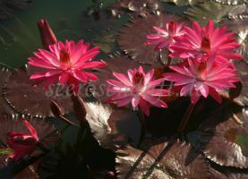 Foto 5 Seerosen-Samen in Varianten BLAU, ROT, WEISS