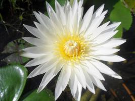 Foto 6 Seerosen-Samen in Varianten BLAU, ROT, WEISS