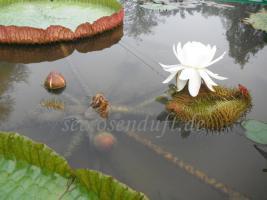 Seerosen Victoria, 2 Arten