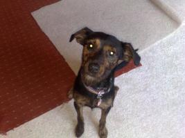 Foto 2 Sehr Süße Dackel-terrier Dame 1/1 halb