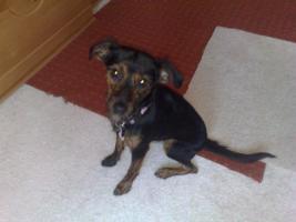 Foto 3 Sehr Süße Dackel-terrier Dame 1/1 halb