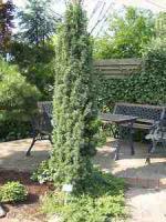 Sehr g�nstige Pflanzen f�r den Garten , Baumschule ; auch Versand m�glich !
