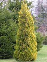 Foto 4 Sehr g�nstige Pflanzen f�r den Garten , Baumschule ; auch Versand m�glich !