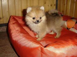 Sehr liebevoll weiß und braun Zwergspitz Pomeranian Welpen