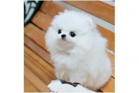 Foto 5 Sehr liebevoll weiß und braun Zwergspitz Pomeranian Welpen