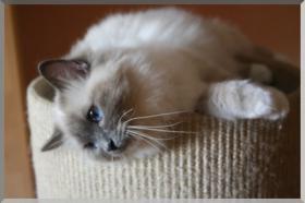Sehr schöne Heilige - Birma- Katzen suchen neuen Schmuseplatz