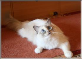 Foto 3 Sehr schöne Heilige - Birma- Katzen suchen neuen Schmuseplatz