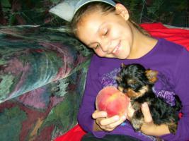 Sehr schöne kleine und mini  Yorksher-Terrier Welpen zu verkaufen