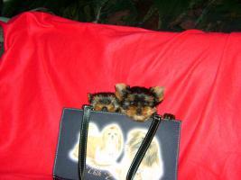 Foto 3 Sehr sch�ne kleine und mini  Yorksher-Terrier Welpen zu verkaufen
