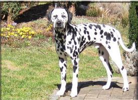 Foto 2 Sehr schöner, eleganter Dalmatiner-Rüde