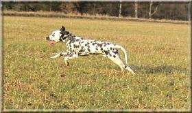 Foto 3 Sehr schöner, eleganter Dalmatiner-Rüde