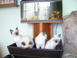 Foto 2 Sehr süße Siamkätzchen aus Hobby- Zucht für 250 Euro zu verkaufen.
