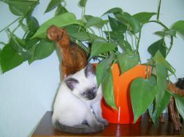 Foto 3 Sehr s��e Siamk�tzchen aus Hobby- Zucht f�r 250 Euro zu verkaufen.