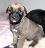 Foto 2 Sehr vielversprechende Irish Wolfhoundwelpen mit Papieren