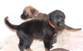 Foto 4 Sehr vielversprechende Irish Wolfhoundwelpen mit Papieren