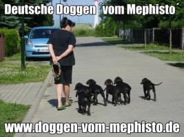 Seit 1979 - Deutsche Doggen ´vom Mephisto´