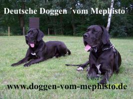 Foto 2 Seit 1979 - Deutsche Doggen ´vom Mephisto´