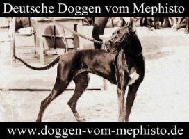 Foto 3 Seit 1979 - Deutsche Doggen ´vom Mephisto´