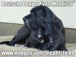 Foto 5 Seit 1979 - Deutsche Doggen ´vom Mephisto´