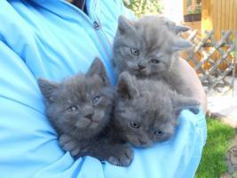 Foto 4 Selkirk Rex BKH Babys blau im ''Schäfchenluck''