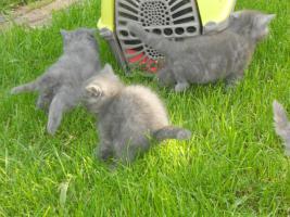 Foto 6 Selkirk Rex BKH Babys blau im ''Schäfchenluck''