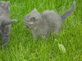 Selkirk Rex Junge in blau 11 Wochen alt